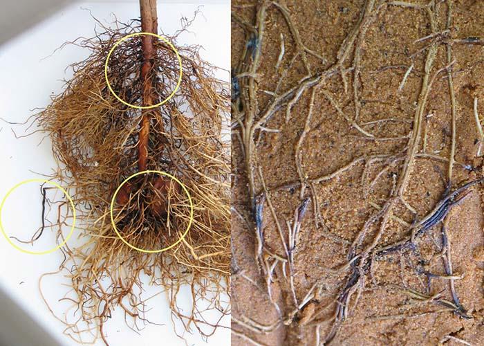 Bệnh thối gốc rễ cây bơ